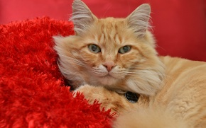 Picture cat, look, red, red background