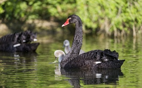 Picture bird, Swan, pond, ©Tambako The Jaguar