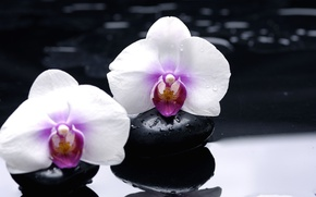 Picture flowers, reflection, stones, white, orchids, black, smooth