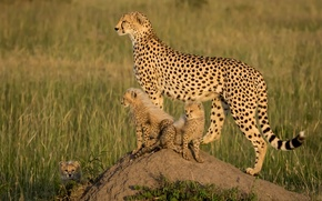 Picture kittens, Africa, cheetahs, cubs