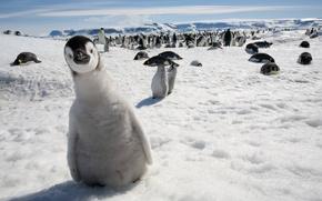 Picture look, snow, penguin, curiosity