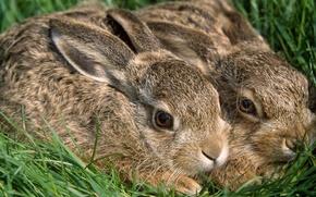 Wallpaper rabbits, grass, rabbits