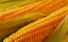 Picture leaves, the cob, Corn