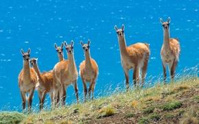 Wallpaper Animals, the herd, Lama
