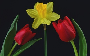 Picture leaves, background, Tulip, petals, Narcissus