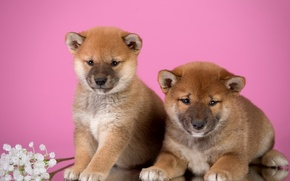 Picture flowers, puppies, Duo, Shiba inu
