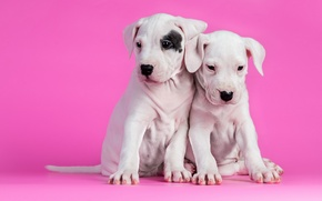 Picture dogs, background, puppies