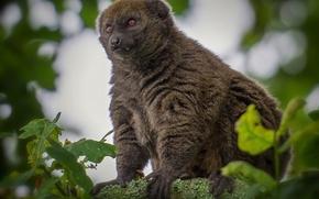 Wallpaper tree, pose, wool, lemur, look