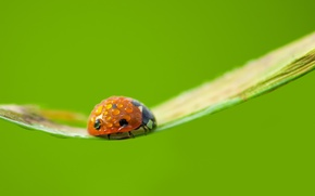 Wallpaper ladybug, background, nature