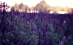 Picture flowers, nature, background, Wallpaper, pictures, plants, the evening, purple, wallpapers, bokeh