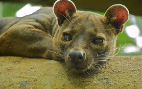 Wallpaper look, face, Fossa