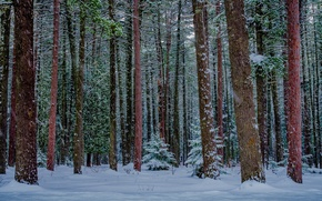 Picture forest, snow, Nature