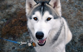 Picture eyes, each, dog, leash, husky