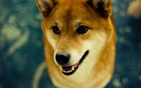 Wallpaper dog, eyes, Shiba inu