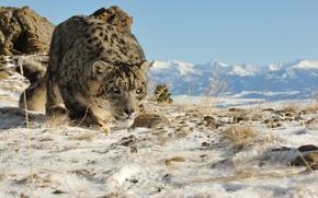 Picture cat, look, IRBIS, snow, mountains, snow leopard, nature