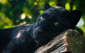 Picture predator, lies, watching, black Panther