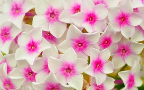 Picture macro, carpet, petals, flowerbed, Phlox