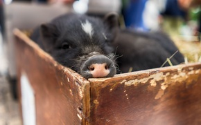 Picture macro, background, pig