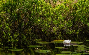 Picture greens, pond, green, plants, white, nature, water, pond, lily, Water Lily