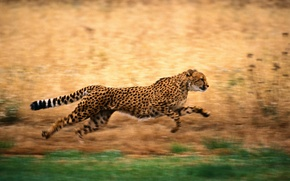 Wallpaper running, Cheetah, nature