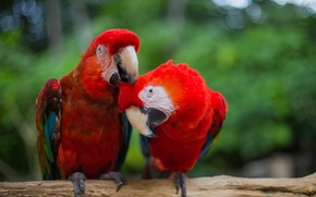 Picture bird, feathers, red, parrots