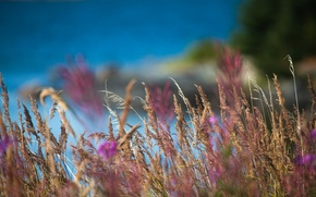 Picture field, grass, macro, nature, blur, spikelets