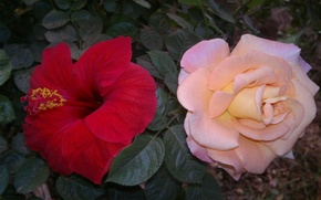 Picture Pink, Orange, Red, Flower, Green, Rose, Yellow, Many