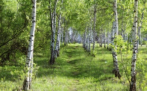 Picture forest, summer, grass, beauty, day, birch, grove