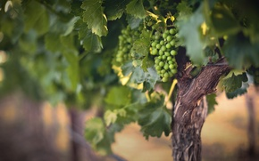 Picture summer, nature, Wine Grapes