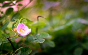 Picture flower, nature, plant, Bush, briar, flora