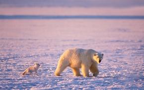 Wallpaper polar bear, polar bears, ice, Arctic, Fox, bear