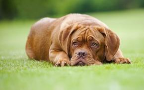 Picture lawn, dog, Dogue de Bordeaux