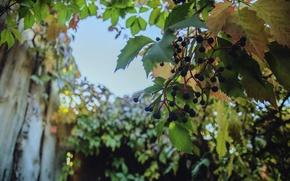 Picture autumn, nature, wild grapes