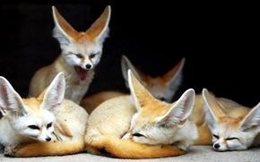 Picture animals, Fox, Fenech