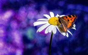 Wallpaper butterfly, blur, Daisy, bokeh