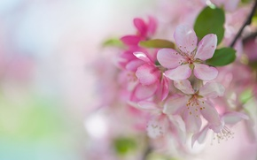 Wallpaper tenderness, Sakura, spring, pink