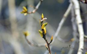 Picture macro, tree, branch, spring, kidney, poplar