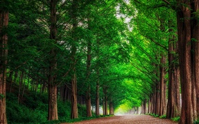 Picture road, forest, trees, landscape, nature, alley, South Korea, metasequoia