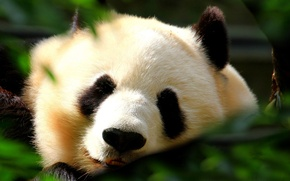 Wallpaper white, foliage, black, Panda, sleeping