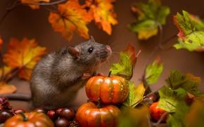 Picture pumpkin, animal, rat