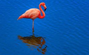 Picture water, reflection, bird, ruffle, Flamingo