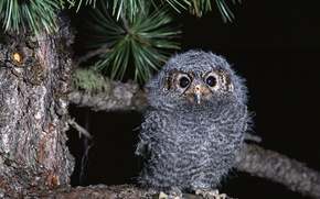Picture Owl, Branch, Chick