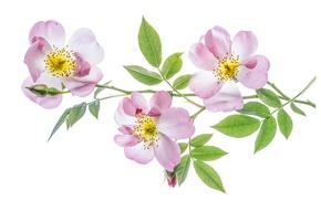 Picture rose, leaves, petals, macro