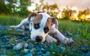 Picture look, puppy, pit bull, boxer, pitbull boxer mix