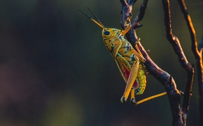 Picture close-up, yellow, macro, bokeh, branch, insect, grasshopper