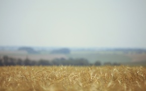 Picture wheat, field, nature, blur, ears