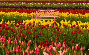 Picture bench, Oregon, tulips, buds, colorful, Oregon, the Tulip festival, Woodburn, Woodburn