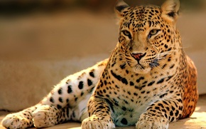 Picture cat, predator, leopard, lies