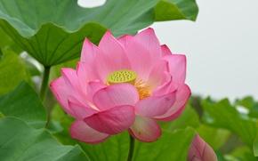 Picture leaves, petals, Lotus