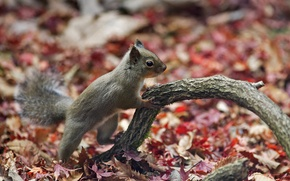 Picture leaves, branch, protein, forest, autumn, Squirrel, beautiful nature wallpapers, autumn forest, animal planet, desktop wallpapers